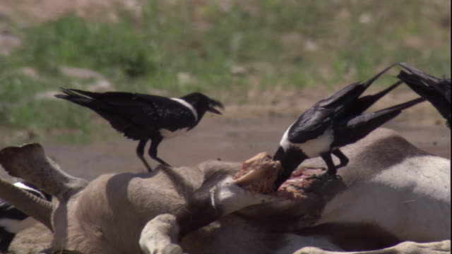 pied crows scavenge on the carcass of a gemsbock, skeleton coast, namibia. available in hd. - dead animal stock videos and b-roll footage