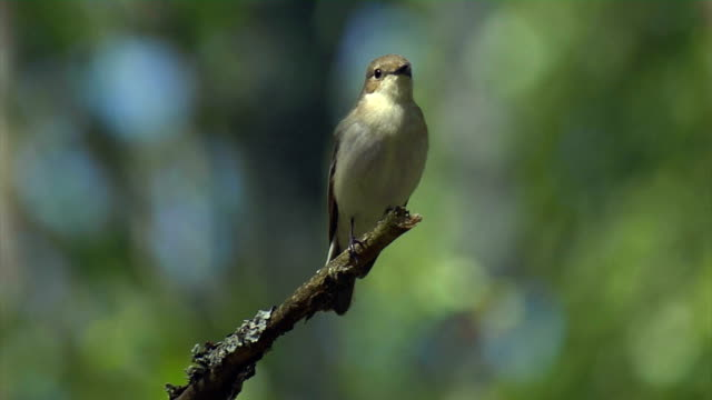 pied flycatcher - singing stock videos & royalty-free footage