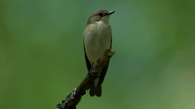 pied flycatcher - birdsong stock videos & royalty-free footage