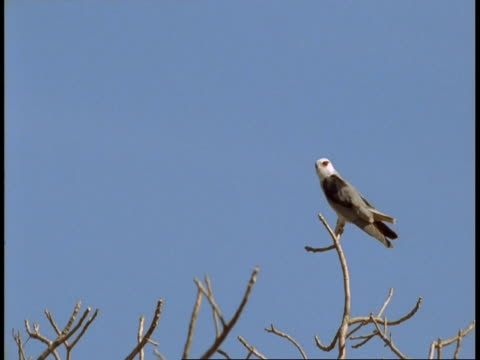 ms pied harrier, circus melanoleucos, sitting at top of tree, bandhavgarh national park, india - national icon stock videos & royalty-free footage