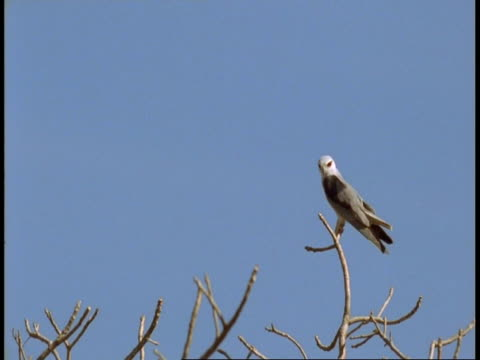 ms pied harrier, circus melanoleucos, taking off from top of tree, bandhavgarh national park, india - national icon stock videos & royalty-free footage