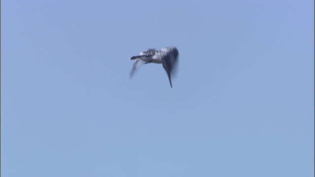 A pied kingfisher flaps its wings and hovers against a blue sky.