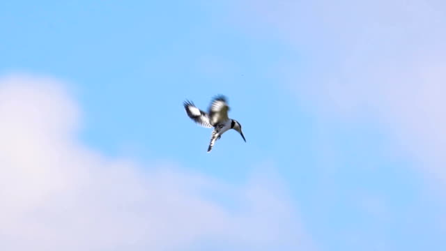 A Pied Kingfisher hoovering in blue sky, slow motion