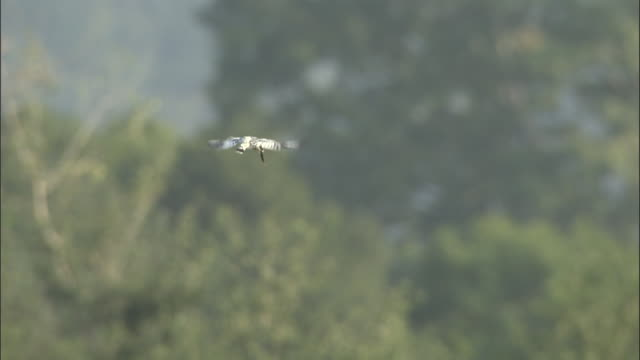 Pied Kingfisher hovering, Chilla sanctuary, India Available in HD.