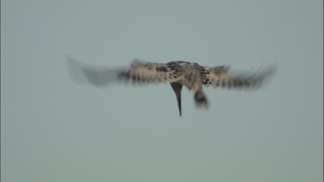 Pied kingfisher hovers away from camera, Kosi River, India Available in HD.