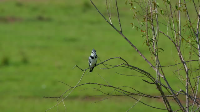 pied kingfisher on branch, maasai mara, kenya, africa - perching stock videos & royalty-free footage