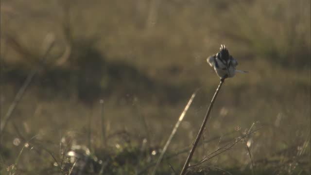 vídeos y material grabado en eventos de stock de a pied kingfisher preens itself as it perches on a slender branch. - delta de okavango