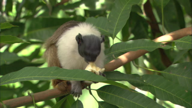 cu, pied tamarin sitting on tree, eating fruit, brazil - fruit stock videos & royalty-free footage