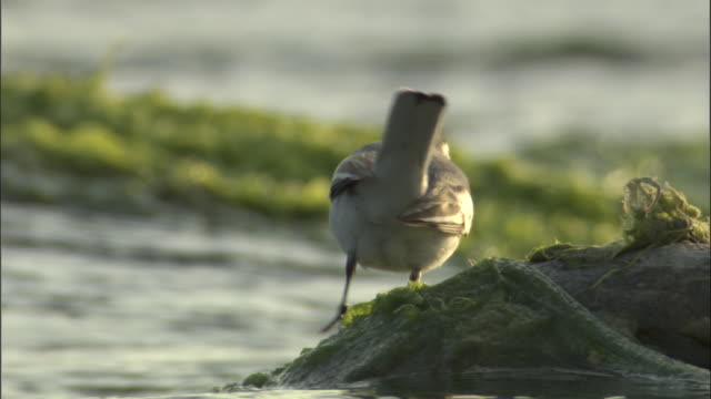 "stockvideo's en b-roll-footage met pied wagtail catches flies on algae, kosi river, india available in hd. - ""bbc natural history"""
