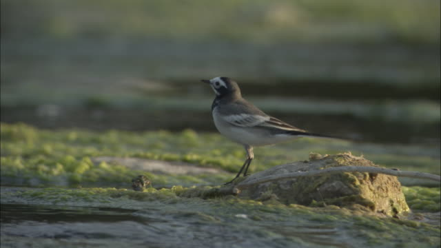 Pied wagtail on twig, Kosi River, India Available in HD.