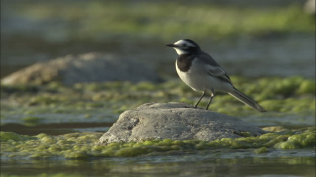 pied wagtail singing on rock, kosi river, india available in hd. - communication stock videos & royalty-free footage