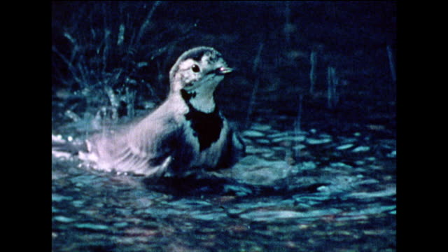 pied wagtail (motacilla alba) splashes in pond; 1978 - 1978 stock videos & royalty-free footage