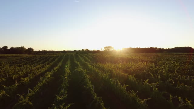 vídeos de stock e filmes b-roll de piedmont vineyard at sunset - vinha
