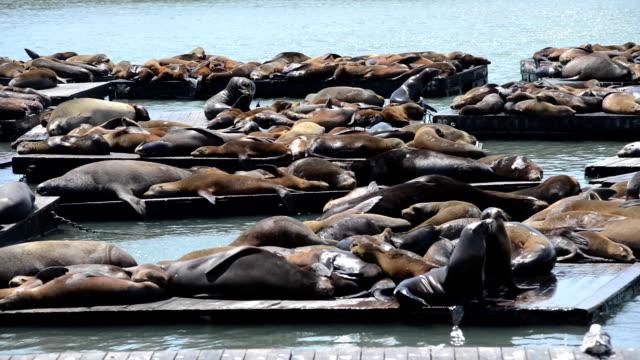 pier 39 sea lions, san francisco, california, usa - pier 39 san francisco stock videos & royalty-free footage