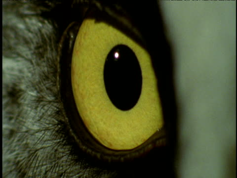 piercing bright yellow eye of great grey owl - blinking stock videos & royalty-free footage
