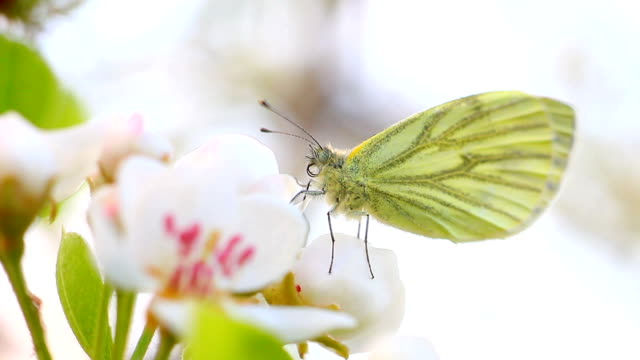 pieris brassicae - cabbage stock videos and b-roll footage