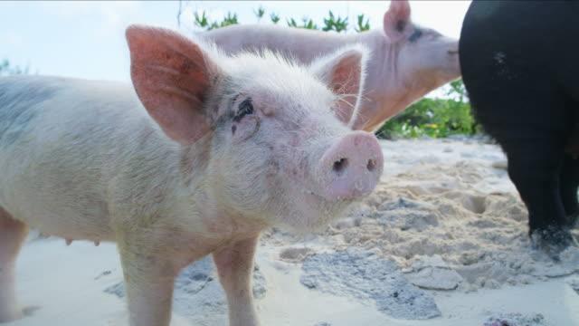 pig and piglet on beach uninhabited island bahamas - animal attribute stock videos and b-roll footage