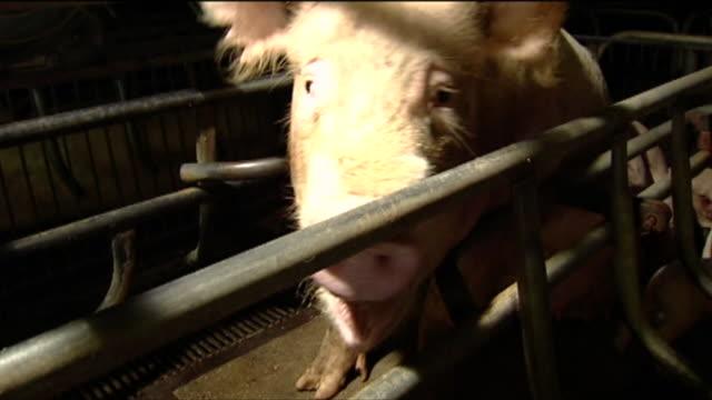pig crying inside a cage on a farm - schwein stock-videos und b-roll-filmmaterial