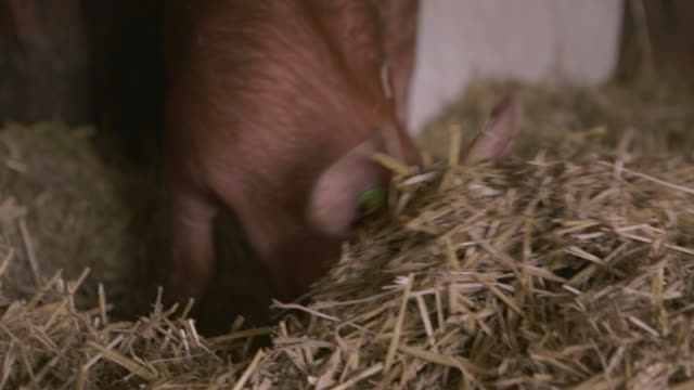 a pig digs into hay in a barn - pig stock videos & royalty-free footage