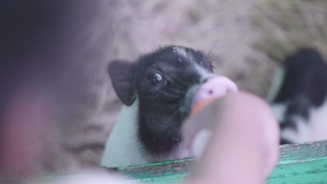 pig eating milk - livestock stock videos and b-roll footage