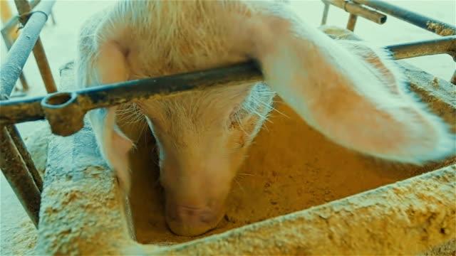 CLOSE UP : pig eating rice bran