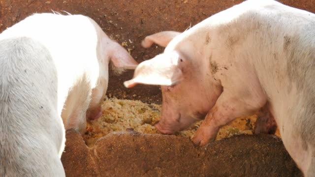 Pig Eating.