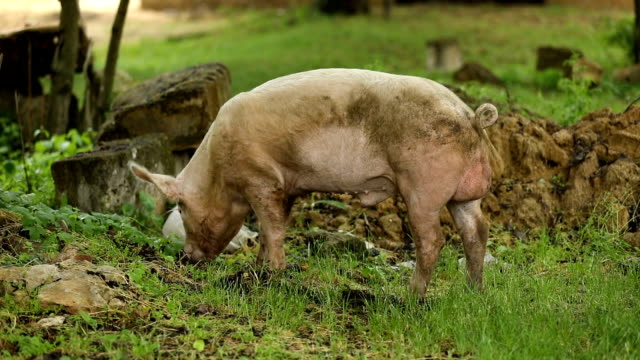 豚は、緑の牧草地の根を食べる - 動物の行動点の映像素材/bロール