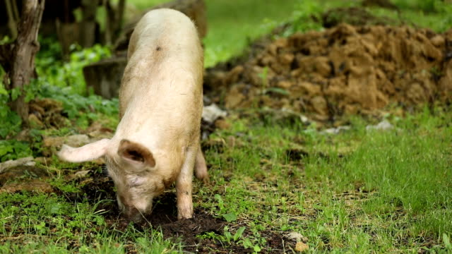 pig eats roots on a green meadow - pig stock videos and b-roll footage