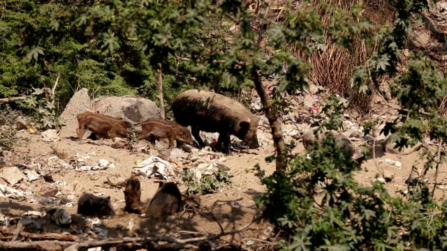 pig family - stray animal stock videos & royalty-free footage