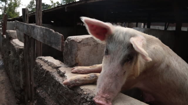 pig farm in kenya, pigs. piglets, gvs of farm and people working on farm - slaughterhouse stock videos & royalty-free footage