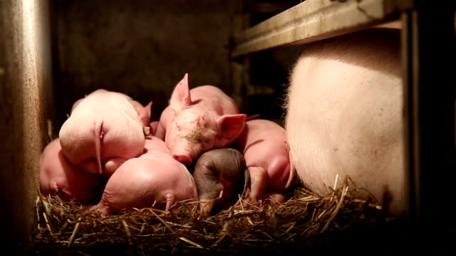 pig farm - liitle pigs napping - hay stock videos & royalty-free footage