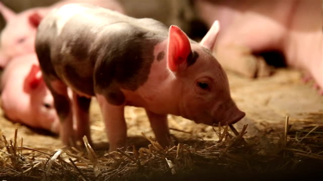 pig farm - little pig walking and eating hay - livestock stock videos & royalty-free footage
