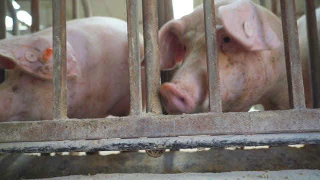 stockvideo's en b-roll-footage met varkenshouderij - keus