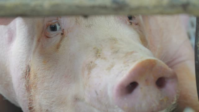pig farm - captive animals stock videos & royalty-free footage