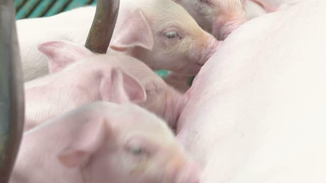 schweinefarm - saugen mund benutzen stock-videos und b-roll-filmmaterial