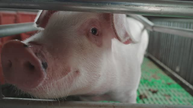 pig farm - small group of animals stock videos & royalty-free footage