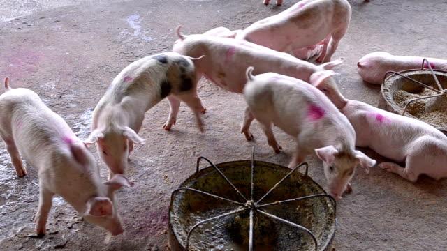 Schwein farm