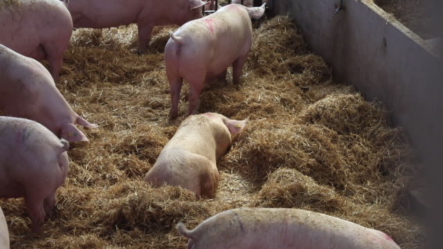 pig farming in driffield yorkshire uk on friday july 31 2020 - large group of animals stock videos & royalty-free footage