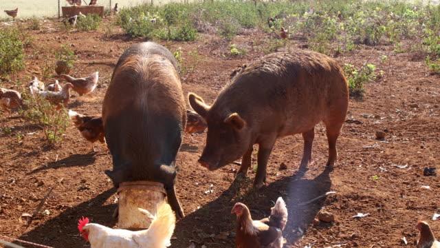 schweinefütterung auf bio-bauernhof - schwein stock-videos und b-roll-filmmaterial