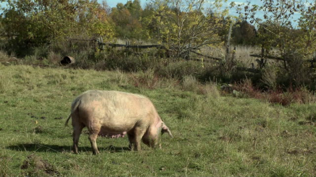 WS Pig grazing in pasture / Campbellford, Ontario, Canada