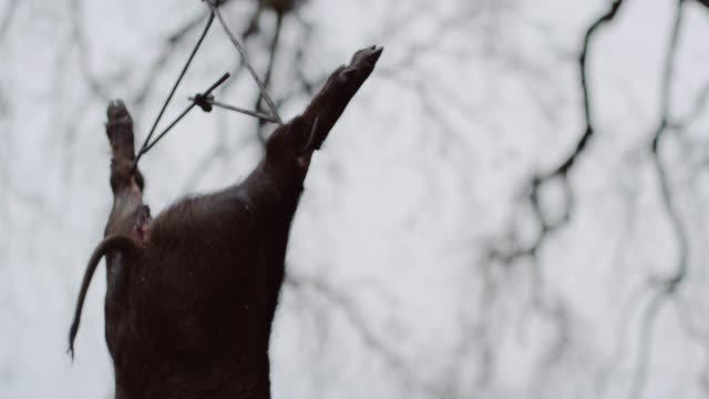 pig hangs from tree, low angle - dead animal stock videos & royalty-free footage