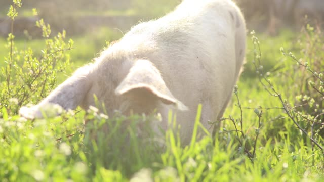 pig having a lunch - pig stock videos & royalty-free footage