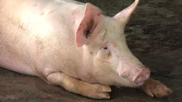 vídeos de stock e filmes b-roll de pig in a farm - porco