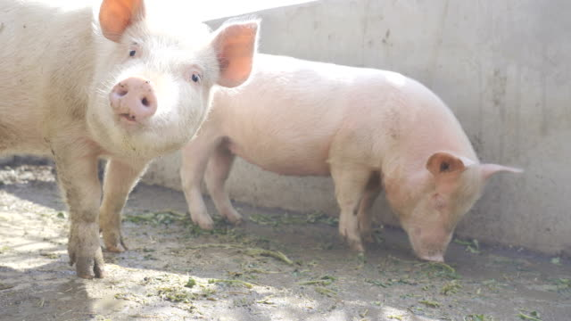 農場で豚 - ブタ点の映像素材/bロール