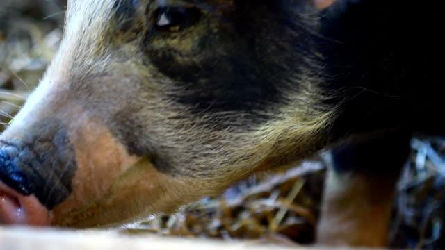 schwein in farm - pferch stock-videos und b-roll-filmmaterial