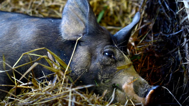 pig in farm - compound interest stock videos and b-roll footage