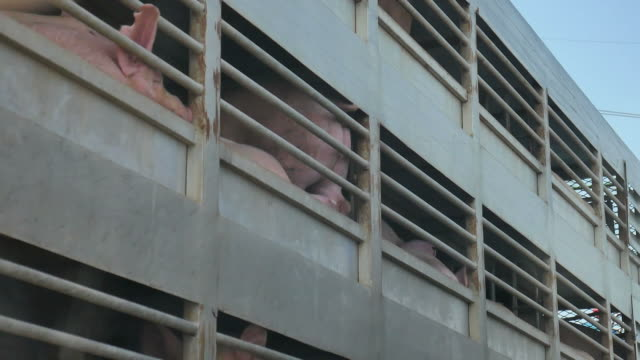 pig in pigsty on truck - slaughterhouse stock videos & royalty-free footage