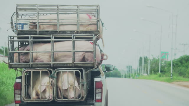 Pig in pigsty on truck