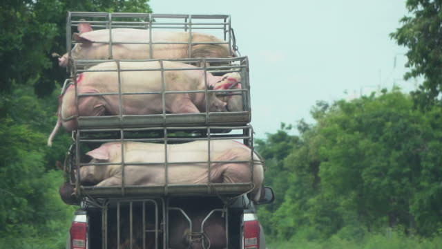 pig in pigsty on truck - maiale ungulato video stock e b–roll