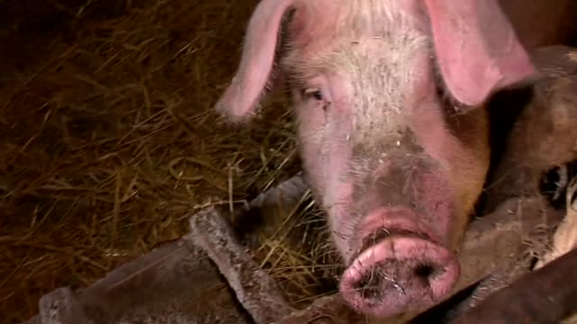 pig in sty - animal pen stock videos & royalty-free footage